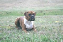 Går utomhus med hundkapplöpning Royaltyfria Bilder