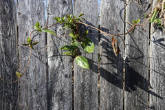 Gård-Staket-växter Arkivfoto