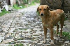 Gårdhund Arkivbilder