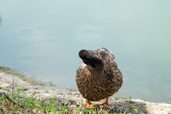 Gås and, anatide sjön Arkivbilder