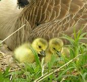 gås för 3 fågelungar royaltyfri fotografi