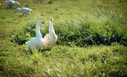 Gås för två vit i gräset Fotografering för Bildbyråer