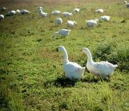 Gås för två vit i gräset Royaltyfri Bild