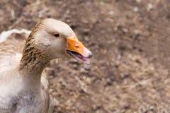 Gås i fågelgårdlantgården Begrepp av djurhållning, hushåll, organiskt kött, byliv kopiera avstånd Royaltyfria Bilder