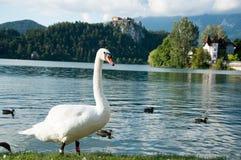 Gås och änder på sjön som blödas i sommar, sikt av Bled slotten, Slovenien, Europa Arkivbilder