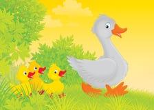 Gås och goslings Arkivfoton