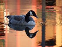 Gås och reflexion på det orange dammet Arkivbild