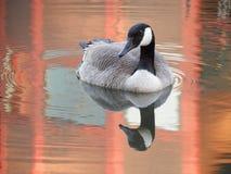 Gås och reflexion på det orange dammet Royaltyfri Bild
