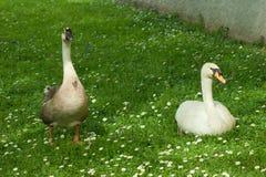 Gås på gräs i parkera Fotografering för Bildbyråer