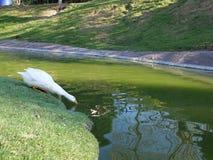 Gås på grönt fältdricksvatten Royaltyfria Bilder