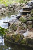 Gås som placeras av ett fridfullt damm på en sommardag Fotografering för Bildbyråer