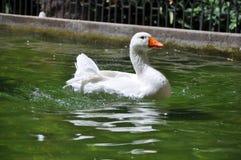 Gås som tar badet i springbrunnen Arkivbilder