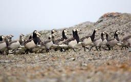 Gåsbarnkammare i den arktiska vildmarken Fotografering för Bildbyråer