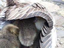 Gåsfågelungar som döljer under en moders vinge Arkivfoto