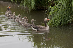 Gåsfamilj i vatten Royaltyfri Fotografi