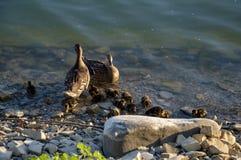 Gåsfamilj på sjön arkivfoton