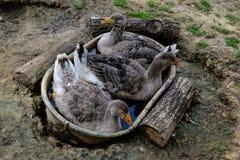 Gåssammanträde i ett tenn- bad Grupp av gåsen som ligger i gräset Inhemskt gässfamiljskrubbsår på traditionell bygårdsplan Arkivbilder