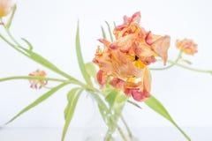 Âgé à la perfection : La vieille tulipe est fleur encore magnifique images stock