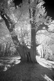 Géant Chestnuttree de Methuselah Photographie stock