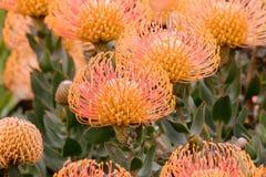 Géant de flamme de cordifolium de Leucospermum de Protea de pelote à épingles aka en fleur Photographie stock libre de droits