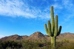 Géant debout au parc national de Saguaro Images stock