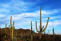 Géant debout au parc national de Saguaro Images libres de droits