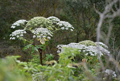 Géant hogweed Photographie stock