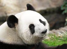 Géant Panda Face Shot, profil latéral, regardant de retour l'appareil-photo photo libre de droits