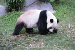 Géant Panda Walking au parc d'océan en Hong Kong Photographie stock