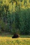Géant parmi Giants Photos libres de droits