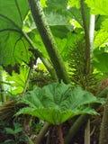 Géant-rhubarbe brésilienne photographie stock libre de droits