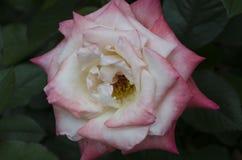 Géminis color de rosa del híbrido Fotos de archivo