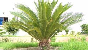 Género de planta del Cycas almacen de video