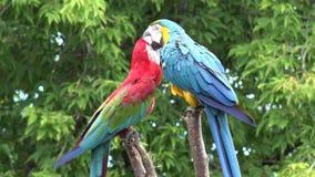 Género tropical neo hermoso cola estrecha larga del macaw dos del plumaje del ara del pájaro colorido del loro que juega en cierr almacen de metraje de vídeo