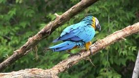 Género tropical neo hermoso gracioso pájaro colorido del macaw del loro del ara del plumaje con la cola estrecha larga en cierre  almacen de metraje de vídeo