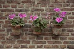 Géranium d'agriculteurs sur un vieux mur Image libre de droits