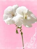 géranium de blanc de plan rapproché Photographie stock libre de droits