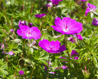 Géranium de cranesbill de rose chaud photo stock