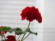 Géranium, fleur d'été sur le fond blanc photos stock