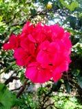Géranium, fleur de mon jardin du ` s de tante photos stock
