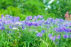 Géranium fleurissant de début de l'été Photos libres de droits