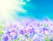 Géranium fleurissant de début de l'été Photo libre de droits