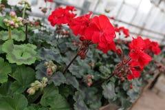 géranium Pélargonium coloré avec les feuilles vertes dans des pots à vendre Configuration florale Fond de fleur Photo stock