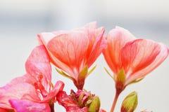 Géranium rose dans la fin  Image libre de droits