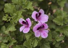 Géranium rose et pourpre, Alberobello, Italie Photographie stock