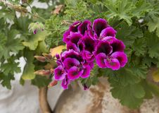 Géranium rose et pourpre, Alberobello, Italie Image stock