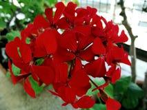 Géranium rouge Image libre de droits