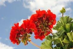 Géranium rouge de jardin - pélargonium Photo stock