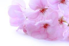 Géranium sensible rose de fleur Images stock