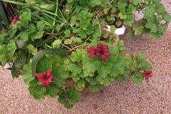 Géraniums au printemps Photo stock